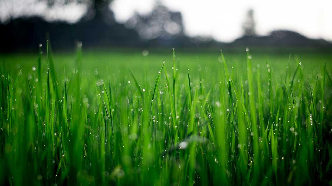 Freshly Watered Lawn